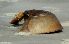 horseshoe crab IMG_8503©Maria de Bruyn res