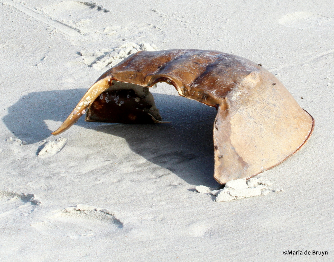 horshoe crab The horseshoe crab is greenish brown to light tan in color the dorsal part of the  body is rounded, and it has a long spike for a tail the horseshoe crab is really.