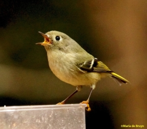 ruby-crowned kinglet IMG_4174 ©Maria de Bruyn res signed