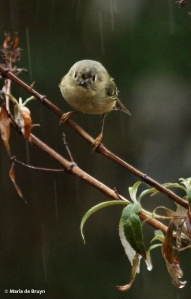 ruby-crowned kinglet IMG_4734© Maria de Bruyn res