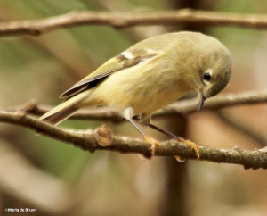 ruby-crowned kinglet IMG_8747© Maria de Bruyn