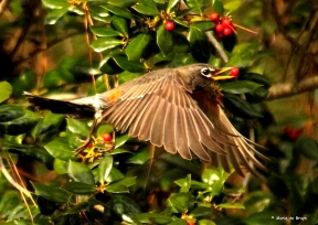 American robin IMG_3302 © Maria de Bruyn