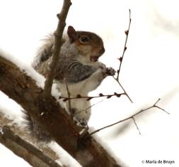 Eastern gray squirrel DK7A7410© Maria de Bruyn res