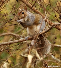 Eastern gray squirrel IMG_3547© Maria de Bruyn res