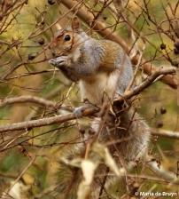 Eastern gray squirrel IMG_3547© Maria de Bruyn res
