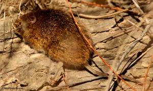 hispid cotton rat DK7A6449©Maria de Bruyn res