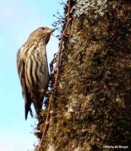 pine siskin IMG_7546©Maria de Bruyn res