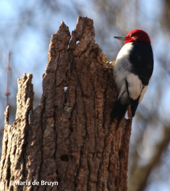 red-headed woodpecker DK7A6013©Maria de Bruyn