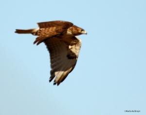 red-tailed hawk DK7A6245©Maria de Bruyn