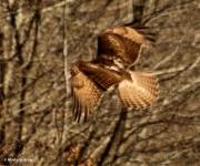 red-tailed hawk DK7A6246©Maria de Bruyn