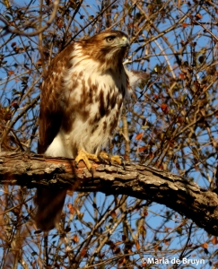 red-tailed hawk DK7A6370©Maria de Bruyn res