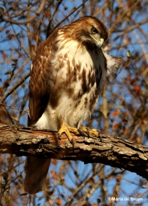 red-tailed hawk DK7A6380©Maria de Bruyn res
