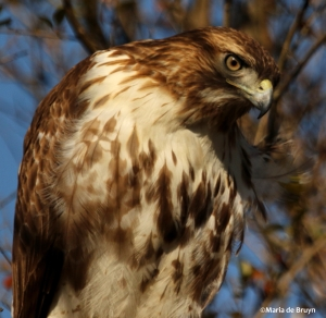 red-tailed hawk DK7A6397©Maria de Bruyn res