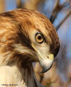 red-tailed hawk DK7A6411©Maria de Bruyn