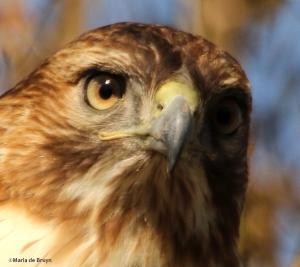 red-tailed hawk DK7A6414©Maria de Bruyn