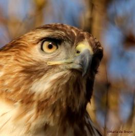 red-tailed hawk DK7A6425©Maria de Bruyn
