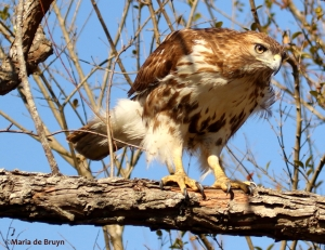 red-tailed hawk DK7A6488©Maria de Bruyn res