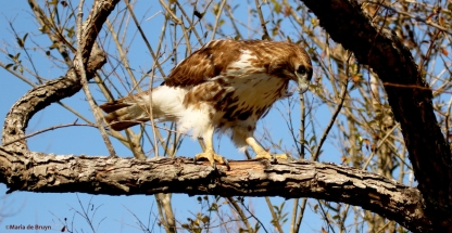 red-tailed hawk DK7A6496©Maria de Bruyn res