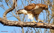 red-tailed hawk DK7A6509©Maria de Bruyn res