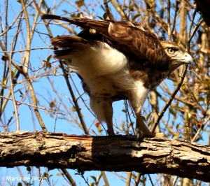 red-tailed hawk DK7A6525©Maria de Bruyn
