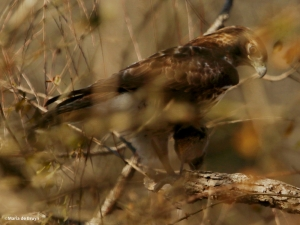 red-tailed hawk DK7A6585©Maria de Bruyn res