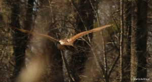 red-tailed hawk DK7A6599©Maria de Bruyn res