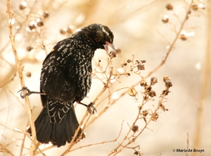 red-winged blackbird DK7A7754© Maria de Bruyn res