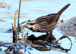 song sparrow IMG_6959© Maria de Bruyn (2) res