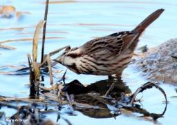 song sparrow IMG_6959© Maria de Bruyn (2) res