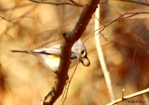 tufted titmouse IMG_0635© Maria de Bruyn