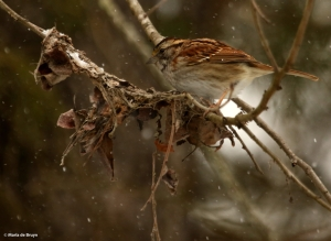 white-throated sparrow DK7A6171© Maria de Bruyn res