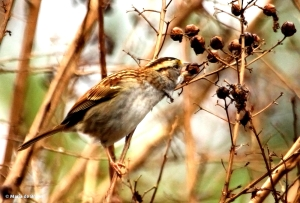 white-throated sparrow IMG_2653©Maria de Bruyn res