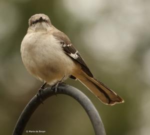 Northern mockingbird DK7A8859©Maria de Bruyn