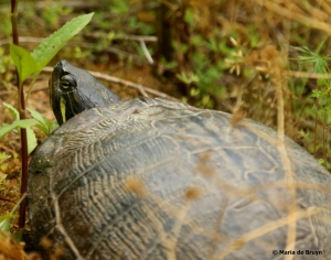 yellow-bellied slider DK7A4270© Maria de Bruyn res
