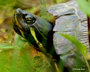 yellow-belllied slider DK7A4286© Maria de Bruyn res