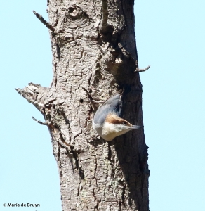 brown-headed nuthatch DK7A0438© Maria de Bruyn