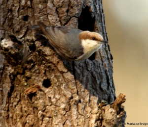 brown-headed nuthatch DK7A4649© Maria de Bruyn res