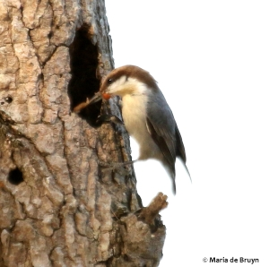 brown-headed nuthatch DK7A4943© Maria de Bruyn