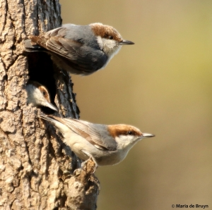 brown-headed nuthatch DK7A5331© Maria de Bruyn res