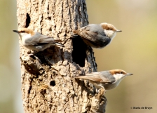 brown-headed nuthatch DK7A5351© Maria de Bruyn res
