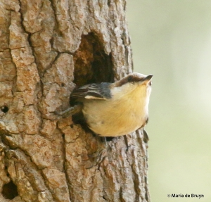 brown-headed nuthatch DK7A8333© Maria de Bruyn