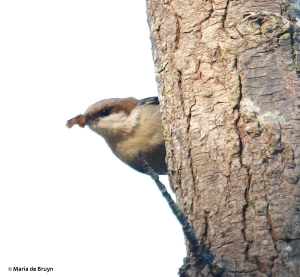 brown-headed nuthatch DK7A9987©Maria de Bruyn
