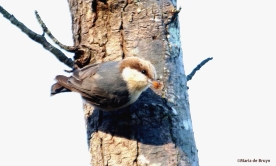 brown-headed nuthatch DK7A9990©Maria de Bruyn res