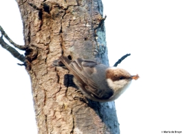 brown-headed nuthatch DK7A9994©Maria de Bruyn res