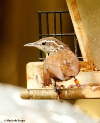 Carolina wren Willow DK7A2608© Maria de Bruyn res