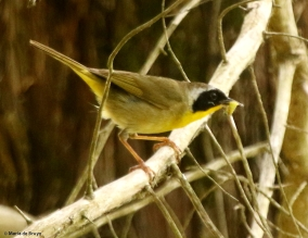 Common yellowthroat DK7A5611© Maria de Bruyn
