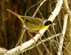 Common yellowthroat DK7A5611© Maria de Bruyn