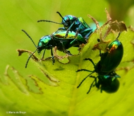 dogbane beetle DK7A5441© Maria de Bruyn