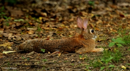 Eastern cottontail DK7A2749© Maria de Bruyn res