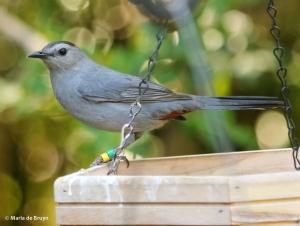 gray catbird Clarissa DK7A2091© Maria de Bruyn res